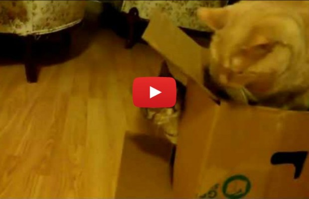 Cat vs. Box