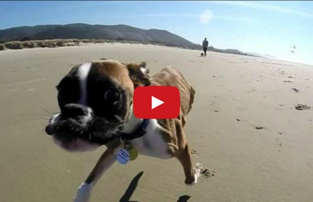 VIDEO: 2 legged Boxer at the beach